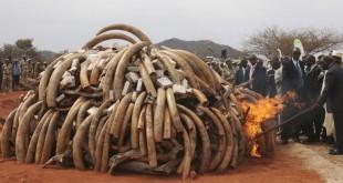1551082_3_e903_cinq-tonnes-d-ivoire-brulees-au-kenya-le-20_e5d3c684d336f26a7c23cd70e4a5d7c7